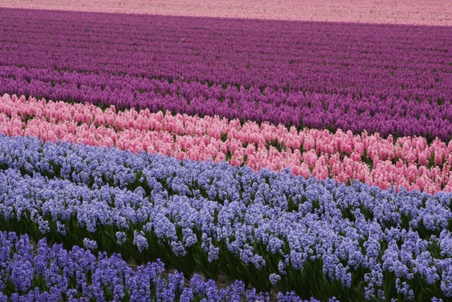 Sweet smelling hyacinth field