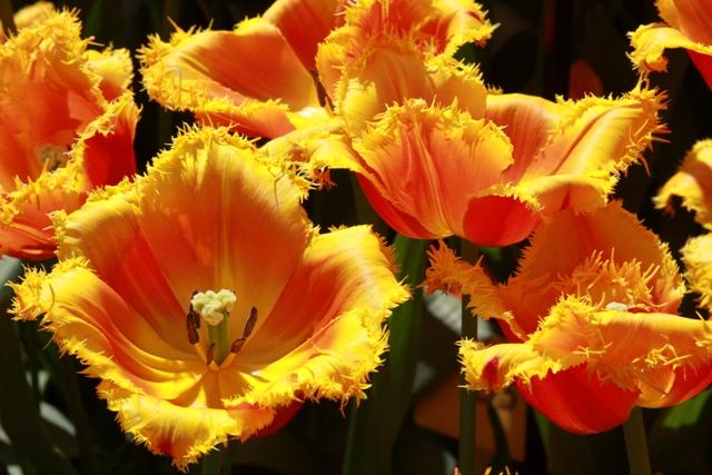 Canary Tulips