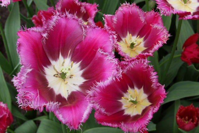 Close up Pink & White tulip