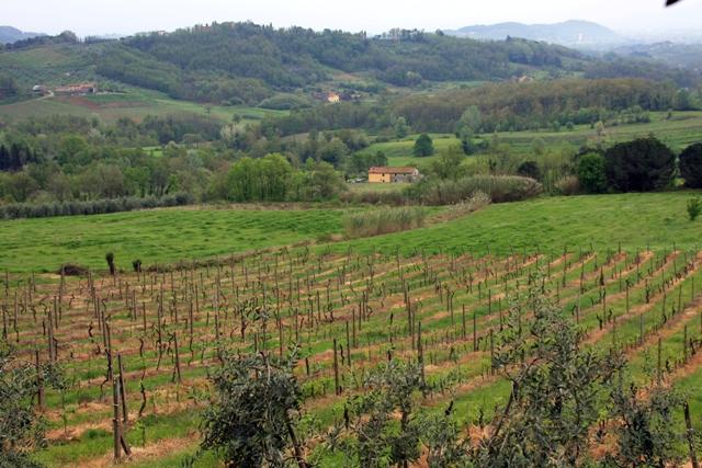 Olive & Wine Grove