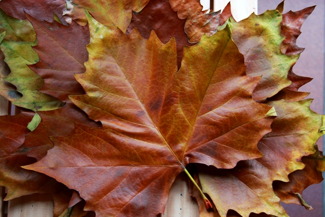 C's Fall Leaves