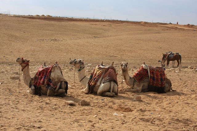 Trio of Camels