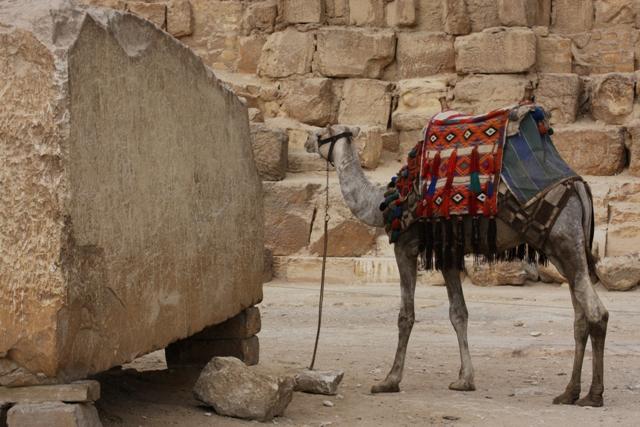 Egypt - Camel