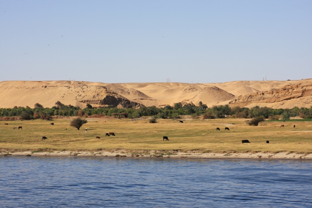 Cows grazing on the Nile