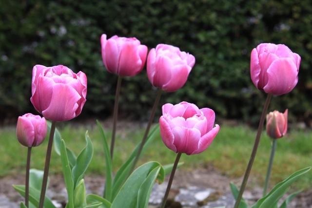 My Garden Tulips
