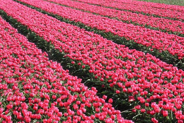 Tiny Pink Tulip Field