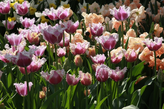 Purple & White Ruffle Tulips