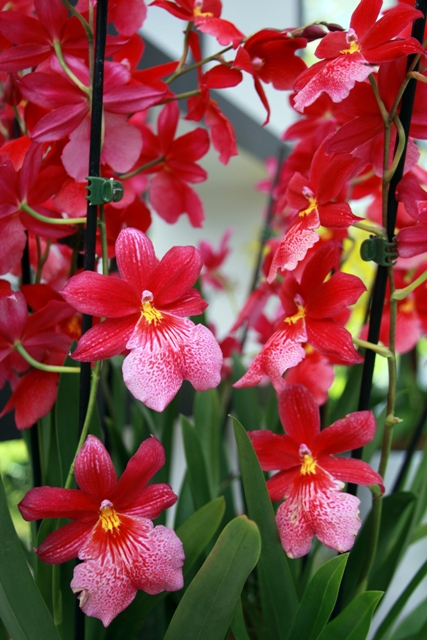 Bursting Berries Orchid