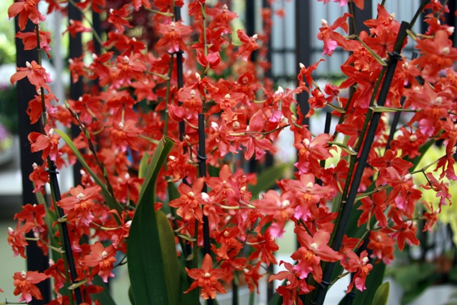 Fire Ball Orchid