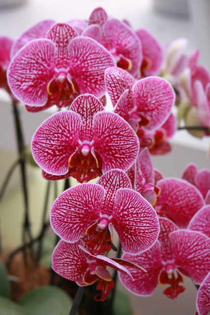All about Pink Orchid
