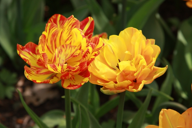 The couple tulip