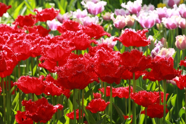 Red Ruffle Tulips