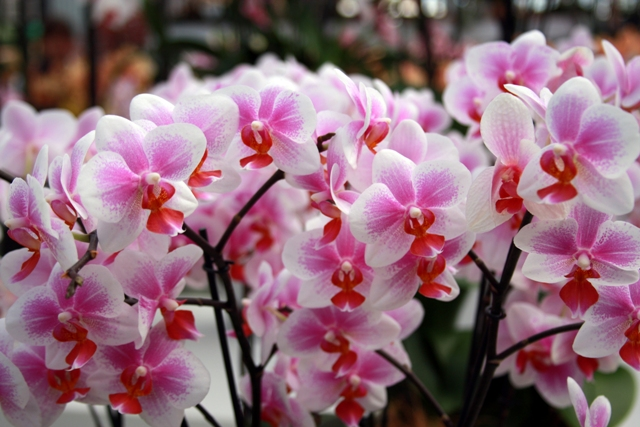 Creamy Strawberry Orchid