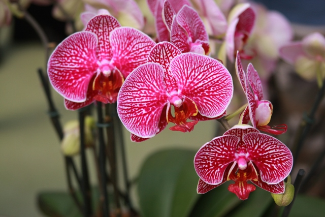 Trio of Orchid Blooms