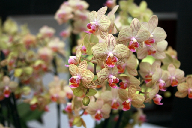 Creamy Pink Orchids