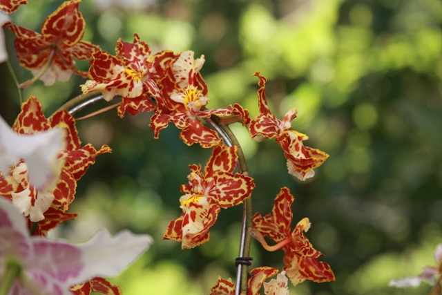 Orange & Yellow Tiger Orchid