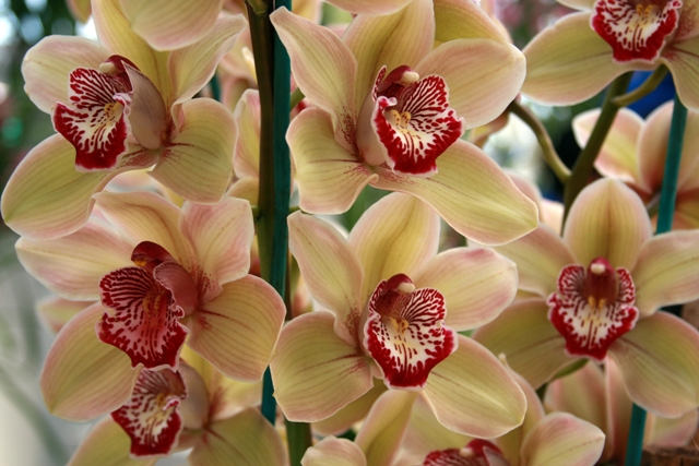 Vanilla Raspberry Jam Orchid