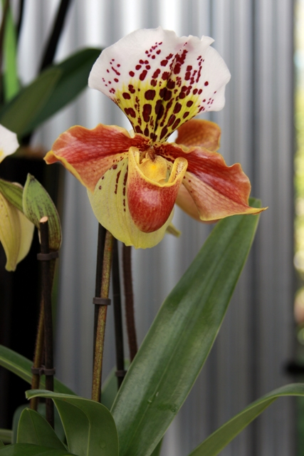 Rain Collector Orchid