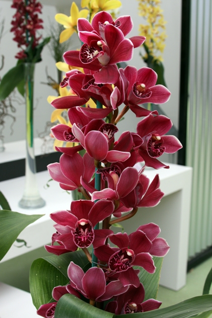 Raspberry Orchid