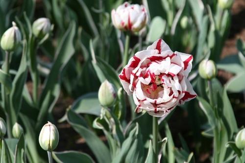 Carnival_tulip_1_2