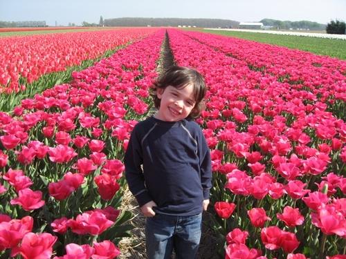 Pink_tulip_field