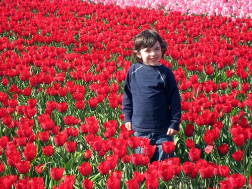 Red_tulip_fields