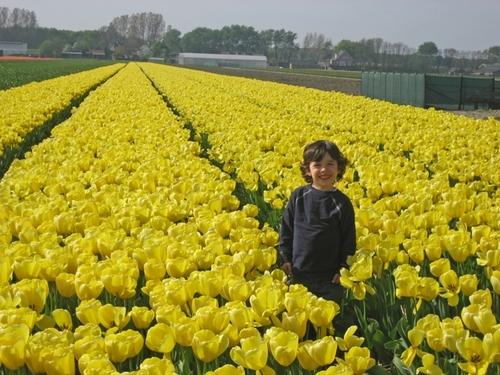 Yellow_tulip_fields