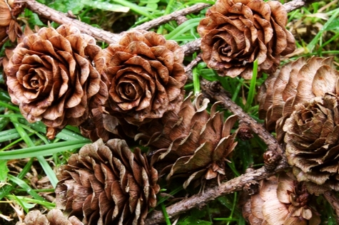 Little_brown_roses_2